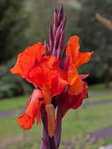 Canna Lily flower — Foto Stock