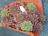 Young succulent plants — Stock Photo