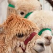 Foto de Stock  : Young Alpacas