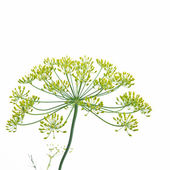 Flowering Dill Herb — Stock Photo