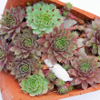 Stock Photo: Succulent plants (Jovibarbhirta)