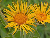 Inula magnifica flowers in bloom — Stock Photo