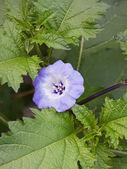 Flor nicandra physalodes (shoo fly — Foto de Stock