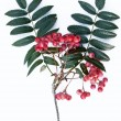 Rowan berries (Sorbus aucuparia) — 图库照片