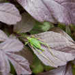 Speckled Bush-cricket (Leptophyes punctatissima) — Stock Photo