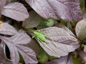 Speckled Bush-cricket (Leptophyes punctatissima) — Stock Photo