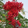 Rowan Berries — Foto Stock