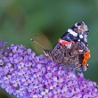 Stock Photo: Red Admiral butterfly