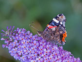 Red Admiral butterfly — Foto de Stock