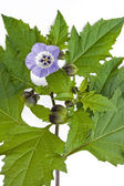 Flower of the Nicandra physalodes plant (shoo fly) — Stock Photo