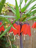 Crown Imperials (Fritillaria imperialis) — Stock Photo