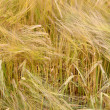 Barley field background. - Foto de Stock