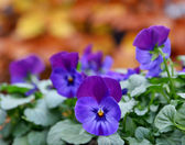 Purple pansy — Stock Photo