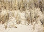 Marram on sand — Stock Photo