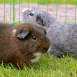Stock Photo: Guinepigs