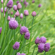 Stock Photo: Chive flowers