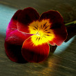Red mini pansy — Stock Photo