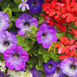 Petunias and pelargoniums — Stock Photo