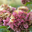 Постер, плакат: Hydrangea flowers in autumn
