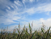 Corn Plants Border Sky — Stock Photo