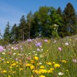 Springtime Meadow with Forest Background — Stock Photo