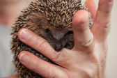 Baby Hedgehog Bites Human Finger — Stock Photo