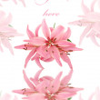 Greeting card with pink soft lily isolated on white — Stock Photo