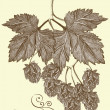 Hand drawn hop branch — Stockvektor #12487853