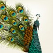 Stockvector : Cute background with vector detailed peacock on white for design