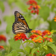 Monarch Butterfly — Stock Photo #18857149