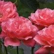 Coral Tea Roses — Stock Photo