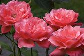 Coral Tea Roses — Stock Photo