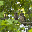 Mother and Baby Owls — Stock Photo #19020971