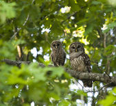 Mother and Baby Owls — ストック写真