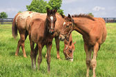 Mare horse and her colts — Stock Photo