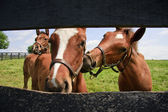 Lekfull colts — Stockfoto