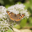 Buckeye Butterfly on White Flowers — Stock Photo