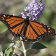 Monarch Butterfly — Stock Photo #22379037