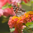 Pretty Butterflies Feeding on Flowers — Stock Photo #22384655