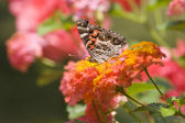 Pretty Butterflies Feeding on Flowers — Stock Photo