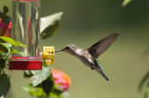 Hummingbird at the Feeder — Stock Photo