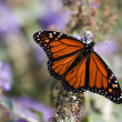 Monarch Butterfly — Stock Photo #22562567