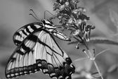 Butterfly Feeding on Flowers in Black and White — Stock Photo
