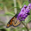 Monarch Butterfly — Stock Photo #22575197