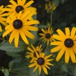 Black Eyed Susans — Stock Photo