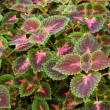 Royalty-Free Stock Photo: Coleus Panorama