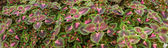 Coleus Panorama — Stock Photo