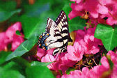 Butterfly Feeding on Azaleas — Stock Photo