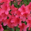 Pink Azaleas — Stock Photo #22701909