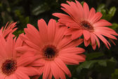 Coral Pink Gerber Daisies — Stock Photo